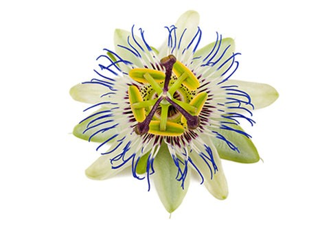 Passionflower seen from the top, yellow, brown, green, white and blue colors - Benefits in Herbal
